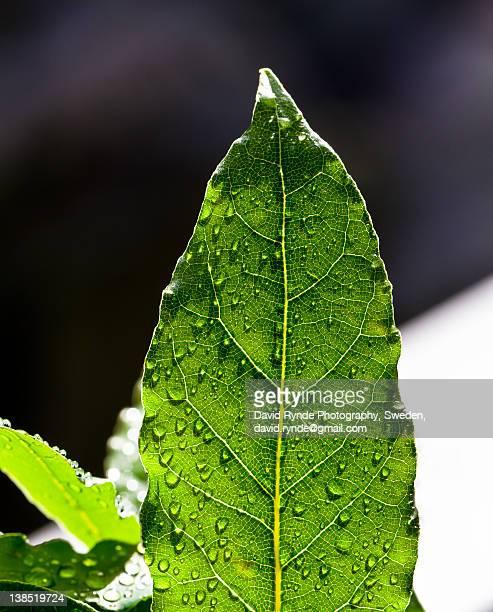 Back lit bay leaf