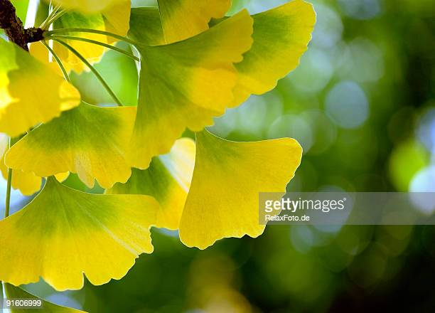 Back lit Close-up of Ginkgo Biloba leaves (XL)