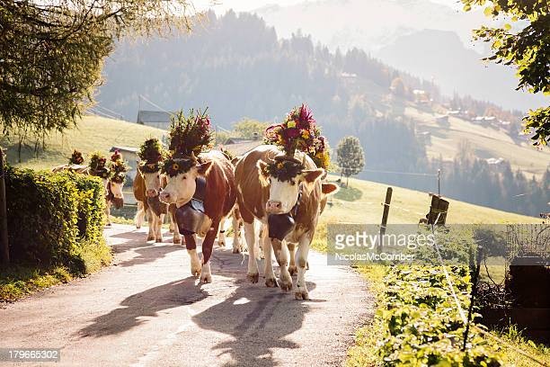 back lit decorated cows on swiss alpine road - switzerland stock pictures, royalty-free photos & images