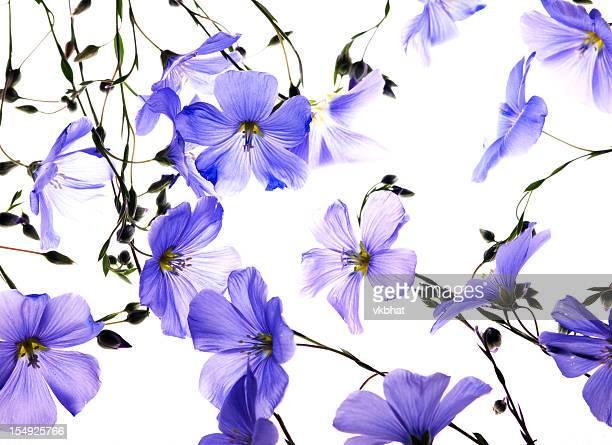 Back lit flax flowers