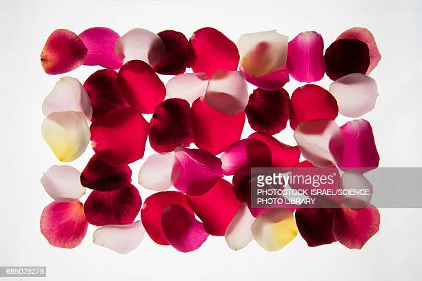 Back lit Flower petals