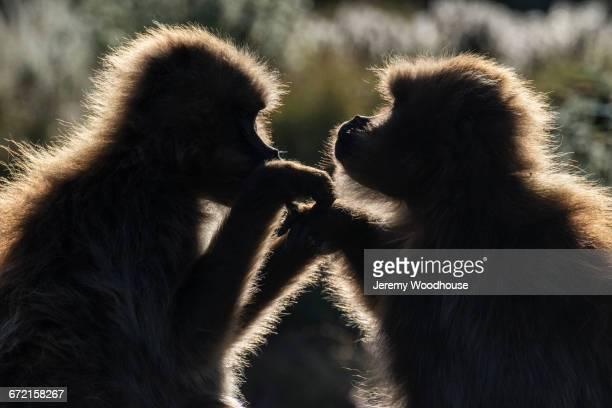 Back lit Gelada Baboons grooming