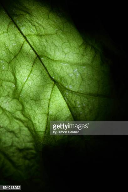 Back Lit Green Leaf at High Resolution Showing Extreme Detail and a Glowing Effect