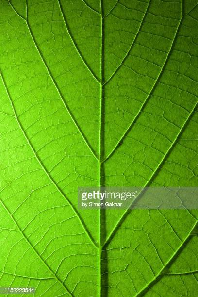 back lit green leaf at high resolution showing extreme detail - leaf stock pictures, royalty-free photos & images