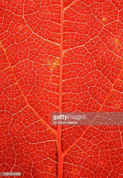 back lit leaf at high resolution showing extreme detail - blood vessels stock pictures, royalty-free photos & images
