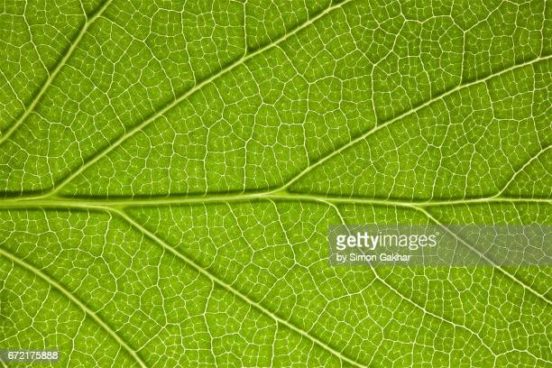 Back Lit Leaf at High Resolution Showing Extreme Detail