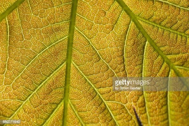 Back Lit Leaf at High Resolution Showing Extreme Detail