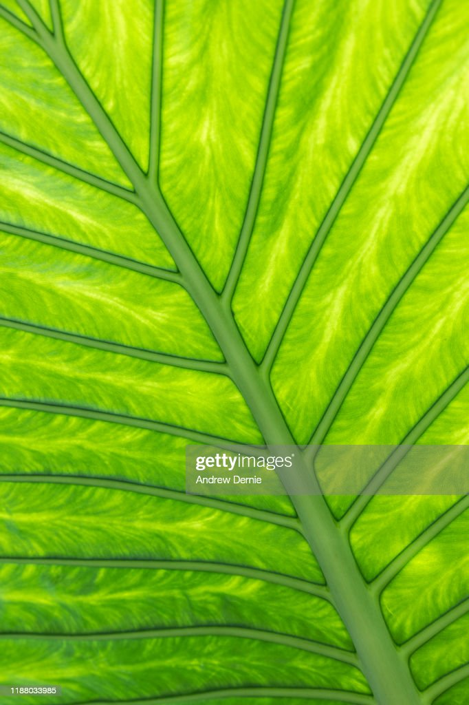 Back lit leaf : Stock Photo