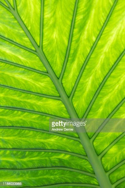 back lit leaf - andrew dernie stock pictures, royalty-free photos & images