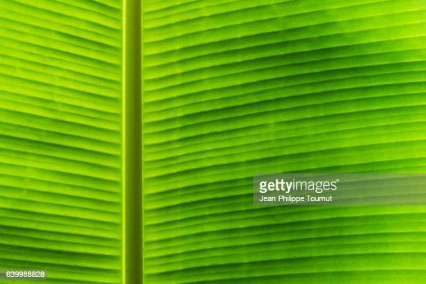 Back lit palm leaf after the rain near Luang Prabang, in Northern Laos, Southeast Asia