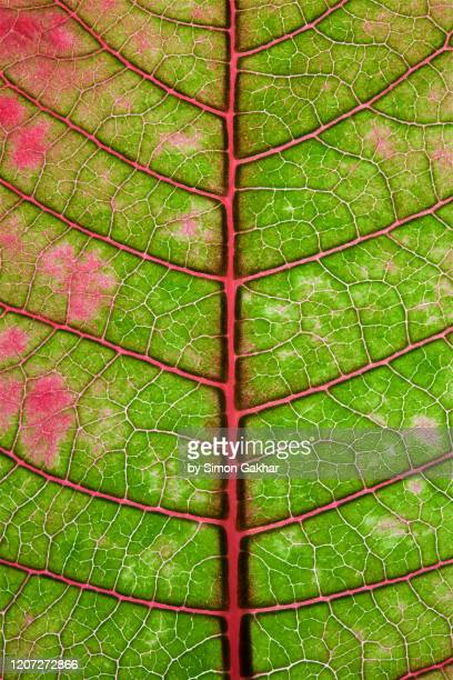 back lit poinsettia leaf at high resolution showing extreme detail - chlorophyll stock pictures, royalty-free photos & images
