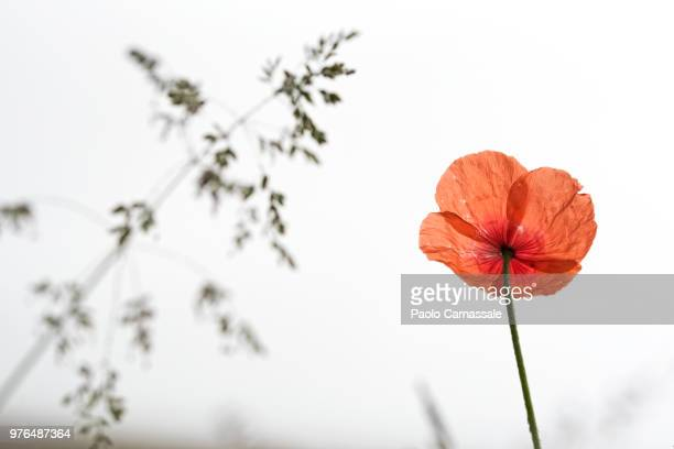 Back lit poppy low angle view
