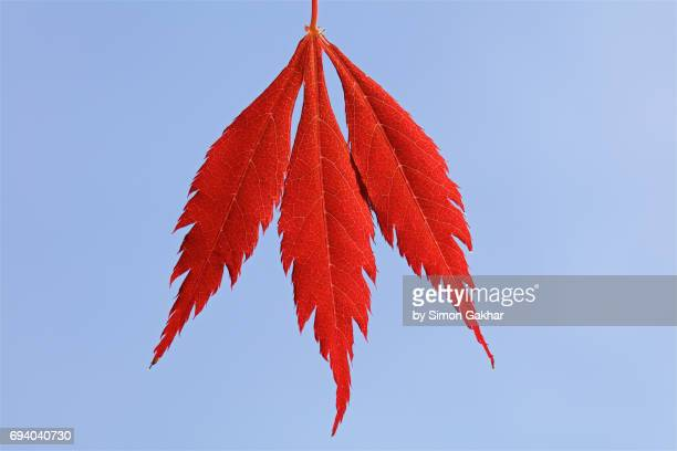 Back Lit Red Acer Leaves at High Resolution Showing Extreme Detail