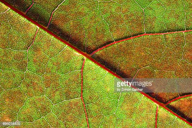 back lit red and green leaf at high resolution showing extreme detail - photosynthesis stock pictures, royalty-free photos & images