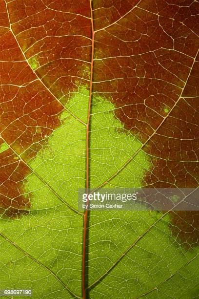Back Lit Two Tone Kiwi Vine Leaf at High Resolution Showing Extreme Detail