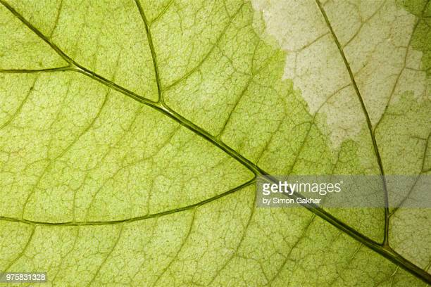 back lit variegated leaf at high resolution showing extreme detail - 繊細 ストックフォトと画像