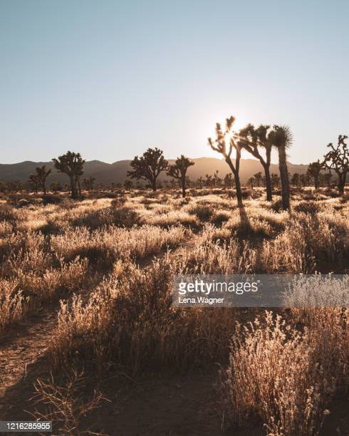 back lit yucca trees on grassy ground in joshua tree national park - extreme terrain stock pictures, royalty-free photos & images