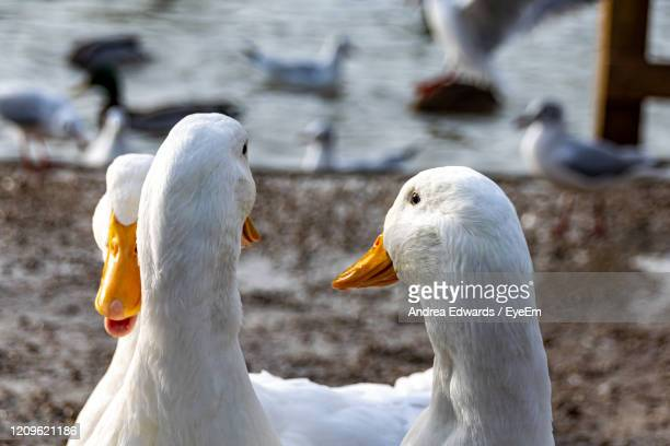 back of a ducks head - pekin duck stock pictures, royalty-free photos & images