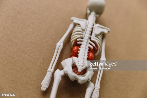Back of a model of human torso with bones and organs on cardboard, focus on spine