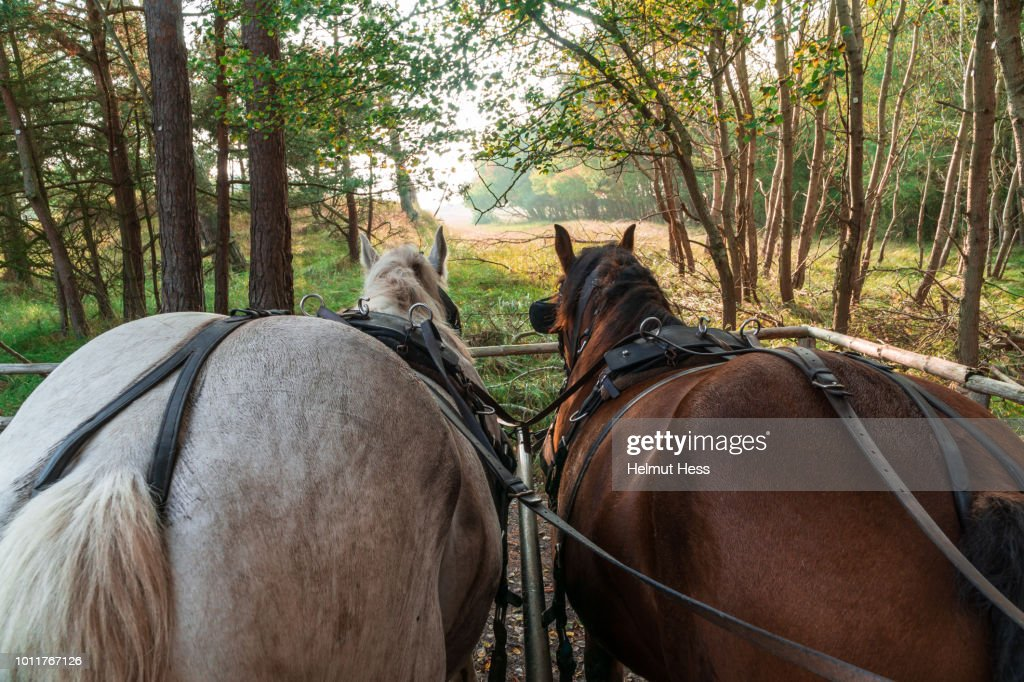 Back of two horses in front of a carriage : Stock Photo