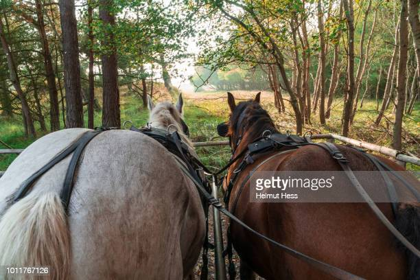 back of two horses in front of a carriage - koets stockfoto's en -beelden
