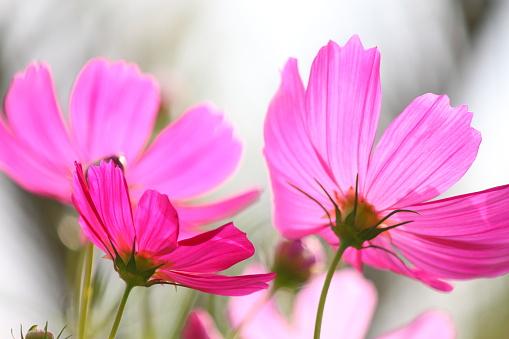 Back side of petal of pink cosmos flowers - gettyimageskorea