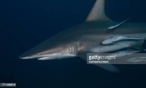 back tip shark with suckerfish, kwazulu-natal, south africa - cinq animaux photos et images de collection