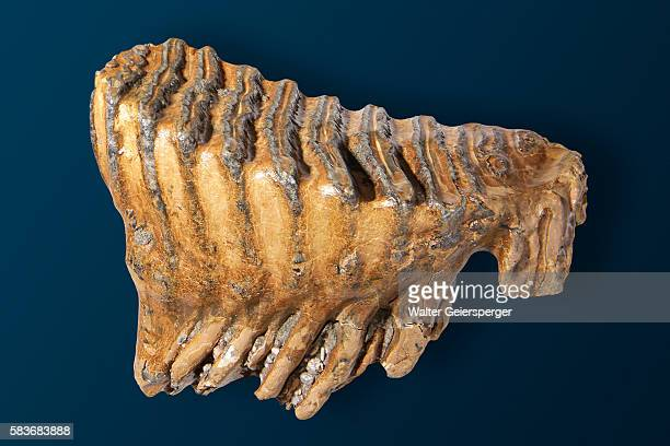 back tooth of a mammoth - mammal stock pictures, royalty-free photos & images