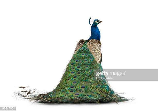 back view of a peacock - peacock stock pictures, royalty-free photos & images