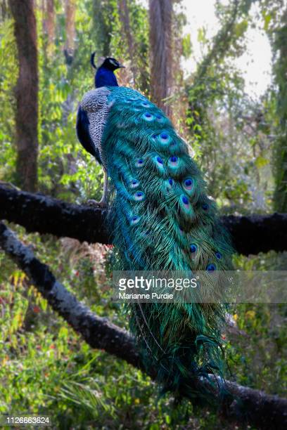 back view of a peacock with its tail feathers hanging down - pheasant tail feathers imagens e fotografias de stock