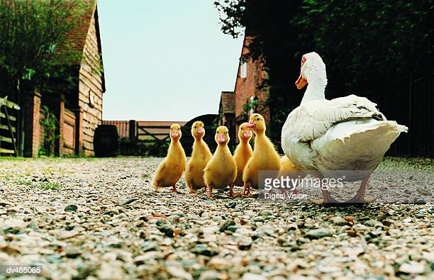 back view of duck with ducklings - animal family stock pictures, royalty-free photos & images