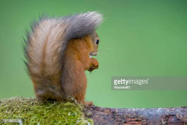back view of red squirrel - squirrel stock pictures, royalty-free photos & images