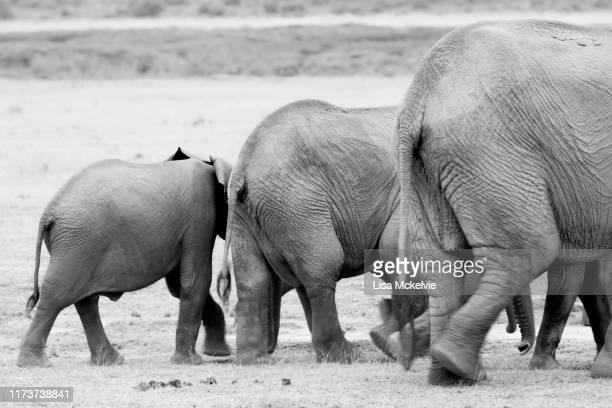 back view of three different sized elephants walking across plain - big arse stock pictures, royalty-free photos & images
