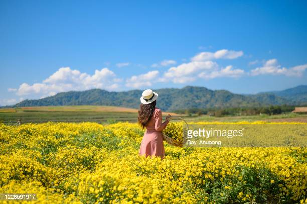 back view of young beautiful woman with a full of chrysanthemum flowers in basket. - chrysanthemum stock pictures, royalty-free photos & images