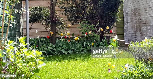 Back yard with tulips and lawn