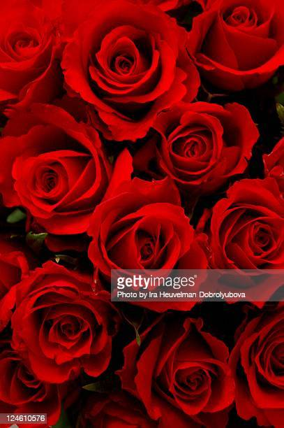 Background of big bunch of red roses