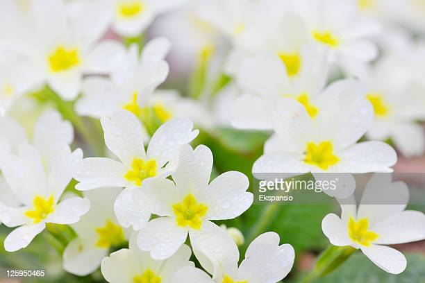 Background of Fresh Spring Wild Primrose Flowers with Dewdrops