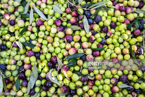 background of freshly picked olives - spanish olive fotografías e imágenes de stock