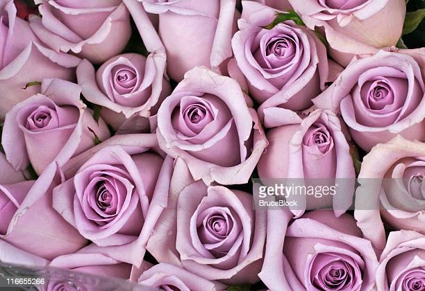 Background of lavender colored roses