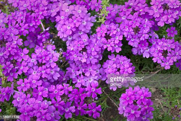 background of verbena in a garden from above - lantana stock pictures, royalty-free photos & images