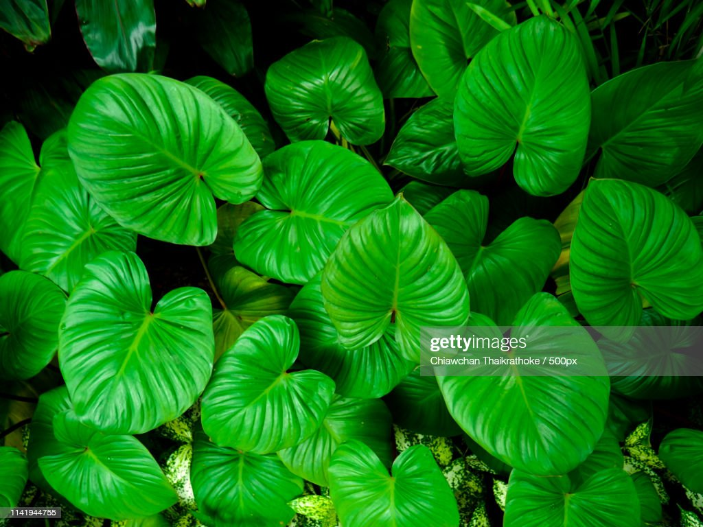 Background Pattern Of Tropical Dark Green Leaves Nature Background Concept High Res Stock Photo Getty Images If you are interested in purchasing one, email me at alisharaeedits@gmail.com license: background pattern of tropical dark green leaves nature background concept high res stock photo getty images