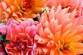 Background photo of Dahlia bulbs and flowers