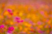 beautiful pink cosmos flower blooming garden