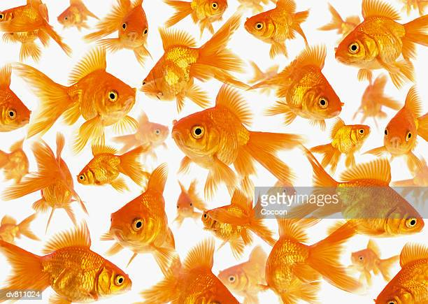 background showing a large group of goldfish - goldfish stock pictures, royalty-free photos & images