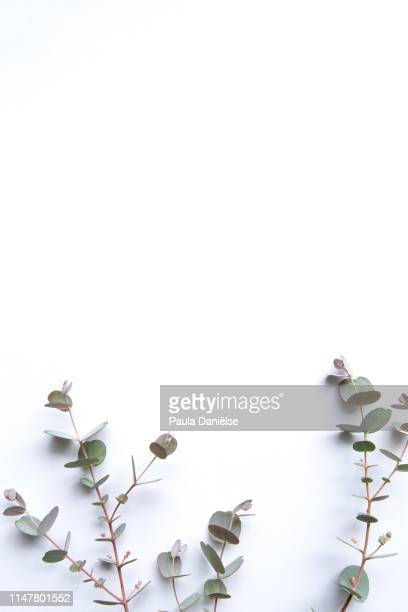 background with a branch of eucalyptus - eucalyptus tree stock pictures, royalty-free photos & images