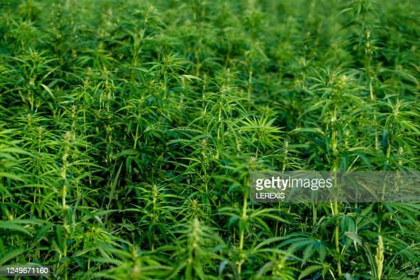 background with cannabis plants - marijuana leaf stock pictures, royalty-free photos & images