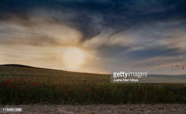Backlight of a field of wheat and wild poppies, numerous birds fly overhead