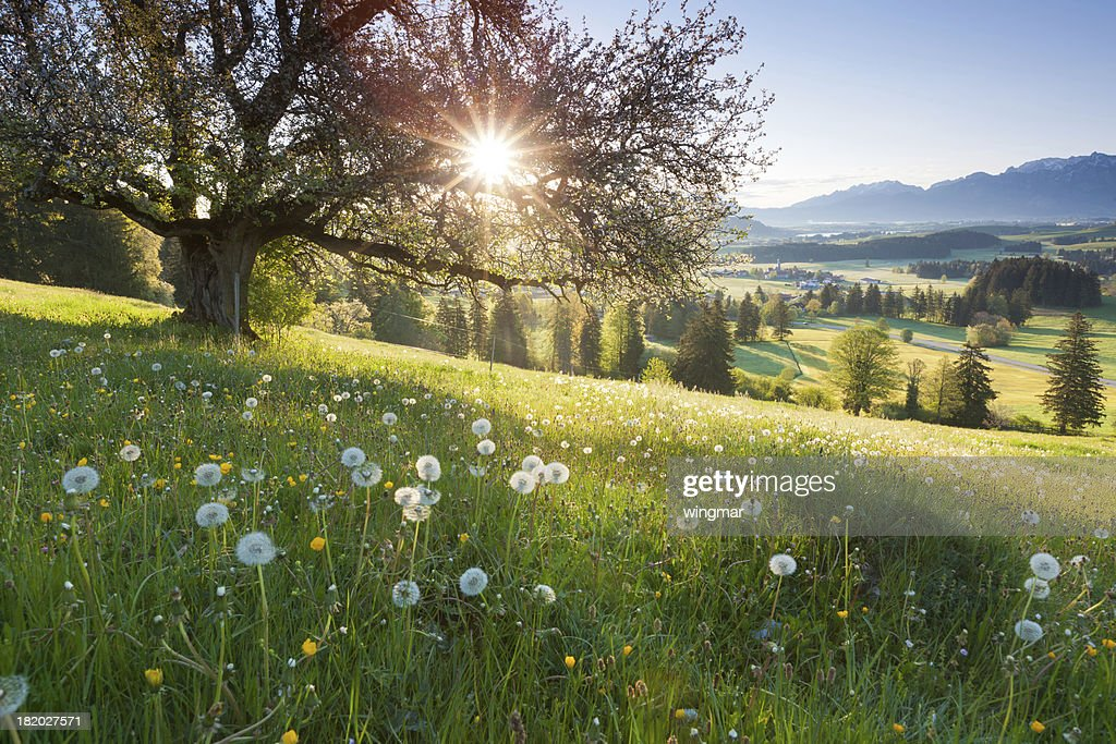 backlight view through apple tree, summer meadow in bavaria, germany : Stock Photo