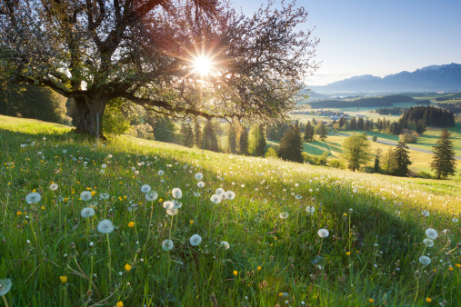 backlight view through apple tree, summer meadow in bavaria, germany 182027571