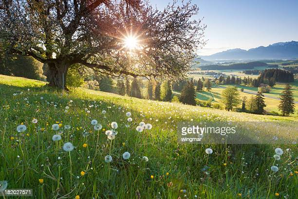 backlight view through apple tree, summer meadow in bavaria, germany - springtime stock pictures, royalty-free photos & images